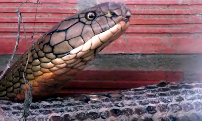 Cặp rắn hổ mây khủng sẽ được thả về núi Cấm ở An Giang