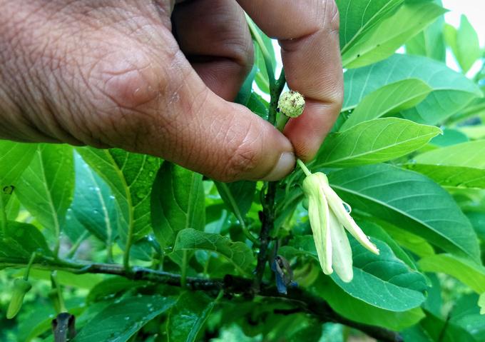 Nông dân thay ong bướm thụ phấn cho hoa na