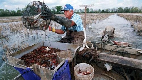 Nông dân thu hoạch tôm hùm đất ở Louisiana, Mỹ. Ảnh: Joe Raedle.