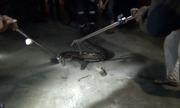 Mò vào làng săn gia súc, trăn dài 5 m bị tóm gọn ở Indonesia