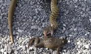 Ếch cử động sau khi thoát khỏi bụng rắn