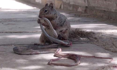 Sóc đất mải miết ăn thịt rắn roi. Ảnh: Facebook.