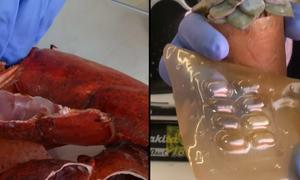 Chế tạo nhựa sinh học từ vỏ tôm hùm