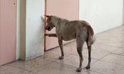 Chú chó hoang ở Philippines nhiều ngày đợi vị giáo sư đã khuất