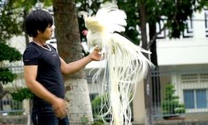 Đàn gà đuôi dài 2 mét, giá trăm triệu đồng mỗi con ở Tây Ninh
