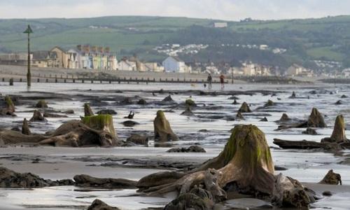 Dấu tích của khu rừng cổ đại ở bãi biển Wales. Ảnh: BBC.