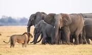 Đàn voi chặn đường cứu voi con khỏi vuốt sư tử