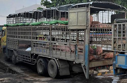 Xe tải chở lợn do ông Vỹ cầm lái đậu trước cây xăng ở Quảng Nam. Ảnh: Đại Hiệp.