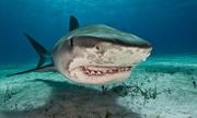 Cá mập tấn công khiến một người tử vong ở Hawaii