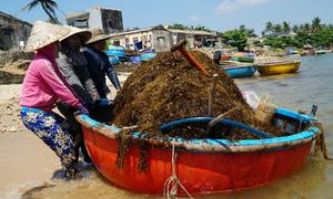 Người dân chèo thuyền thúng vớt rong mơ ở Quảng Ngãi