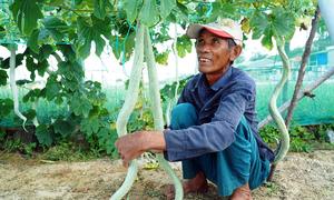 Giàn mướp rắn cho trái dài 2 m ở đảo Lý Sơn