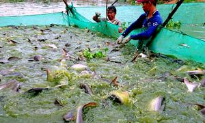 Nuôi 100 tấn cá tra bằng mì tôm, lòng gà lãi gần tỷ đồng mỗi năm
