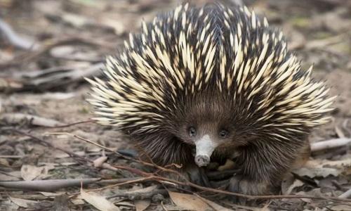 Thú lông nhím Echidna đẻ trứng thay vì sinh con như nhiều động vật có vú. Ảnh: Pinterest.