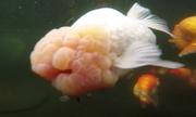 Loài cá vàng có giá hàng nghìn đô mỗi con ở trang trại Trung Quốc
