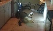 Cá sấu dài hơn 3 m 'đột nhập' nhà dân Mỹ