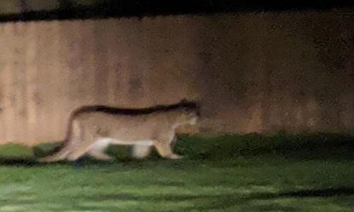 Con báo sư tử bị giết sau khi tấn công bé trai trong công viên Mỹ. Ảnh: Komonews.