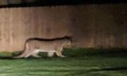 Chó cứu chủ thoát khỏi vuốt báo sư tử