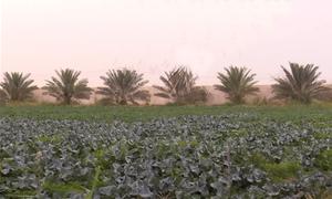 Qatar trồng rau củ trên hoang mạc để đối phó cấm vận