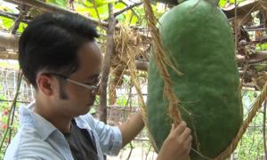 Làng nghề trồng bí đao khổng lồ ở Bình Định 'teo tóp' vì rớt giá