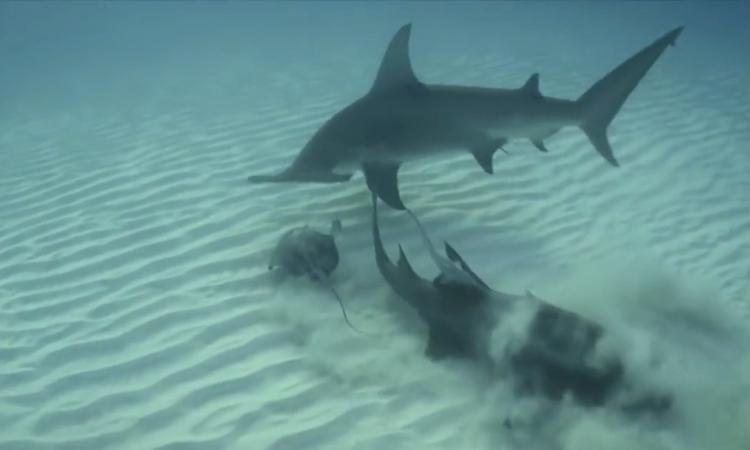 Cá đuối trốn dưới cát vẫn bỏ mạng bởi hàm cá mập búa