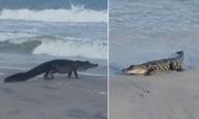 Cá sấu mõm ngắn lang thang trên bãi biển Mỹ