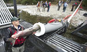 Đường ống vận chuyển nhanh cá hồi ở Mỹ