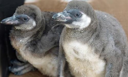 Hai con chim cánh cụt nhỏ bị giết chết trong vườn thú. Ảnh: Zoo Dresden.