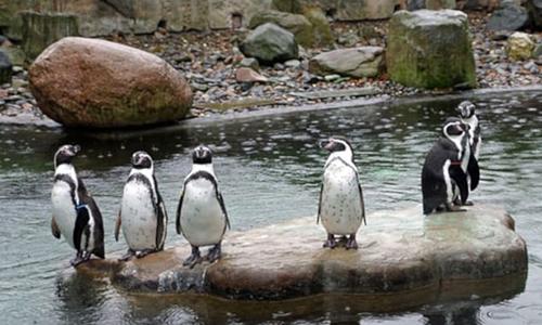 Chim cánh cụt trong vườn thú Dresden, Đức. Ảnh: Zoo Dresden.
