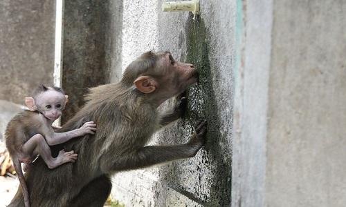 Nắng nóng kéo dàikhiến nguồn nước trở nên khan hiếm đối với đàn khỉ. Ảnh: AFP.