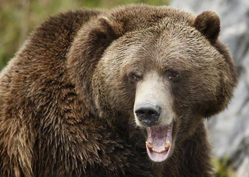 Một con gấu nâu Siberia. Ảnh: Reuters