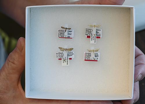 Bốn loài bướm đêm mới có kích thước chỉ tương đương loài muỗi. Ảnh: Phys.