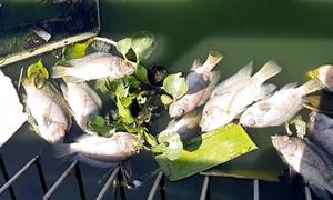 Cá chết hàng loạt tại hồ điều tiết ở Đà Nẵng