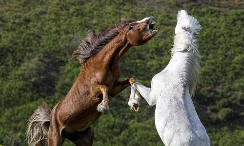 Hai con ngựa đực tìm cách cắn vào đầu đối thủ. Ảnh: John Hayward.
