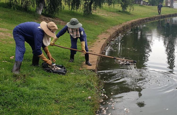 Công nhân thu gom xác cá nổi trên hồ. Ảnh: Hoài Thanh