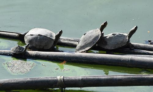 Rùa Bostami được nuôi tại đền Hayagriva Madhav. Ảnh: AFP.