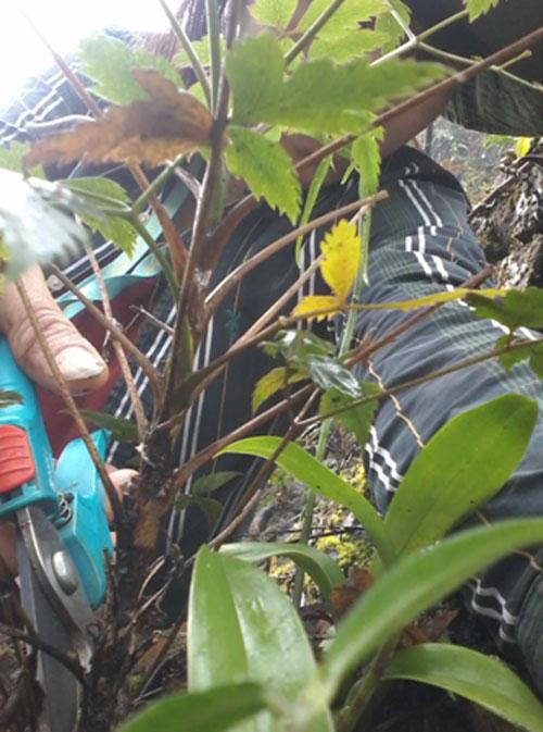 Cây thìa là hóa gỗ được lấy mẫu tại huyện Đồng Văn, tỉnh Hà Giang. Ảnh: VAST.