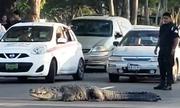 Cảnh sát chặn xe giúp cá sấu dài gần 3 m sang đường