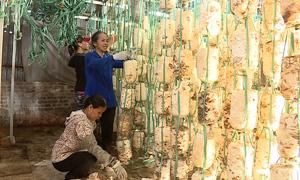 Nông dân tận dụng rơm rạ để trồng nấm ở Hà Nội