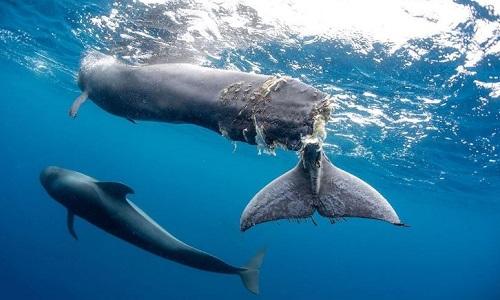 Con cá voi hoa tiêu bị đứt đuôi. Ảnh: Francis Pérez.