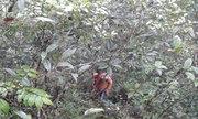 Loài cây rừng có hợp chất gây độc bốn dòng tế bào ung thư