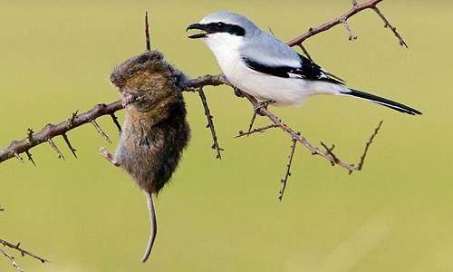 Loài chim đồ tể chuyên xiên con mồi qua gai nhọn để xẻ thịt
