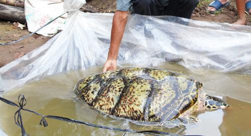 Con rùa biển lúc ông Chánh bắt được. Ảnh: Bảo An.