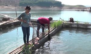 Mô hình nuôi cá lồng trên hồ Hòa Bình