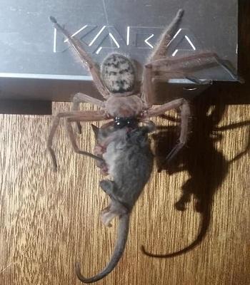 Cảnh nhện thợ săn ăn thịt thú có túi tý hơn gây sốc cho hai vị khách tại nhà nghỉ. Ảnh: Facebook.