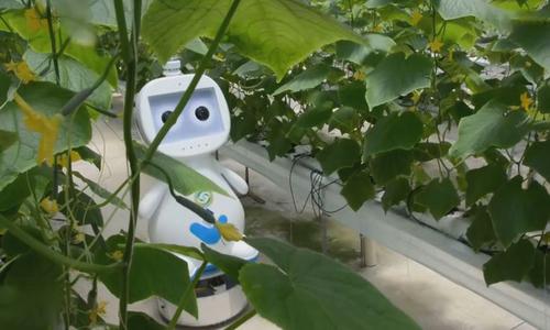 Robot AI hỗ trợ chăm sóc cây trồng trong nhà kính