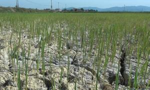 Nhiều hồ cạn nước, 1.000 ha lúa ở Quảng Bình có nguy cơ mất trắng