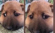 Chú chó tỏ vẻ đáng thương vì bị ong chích sưng mặt