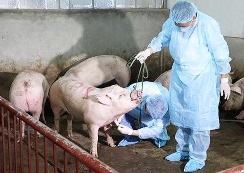 Cán bộ thú y lấy mẫu kiểm tra lợn có mắc bệnh hay không.