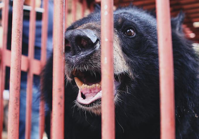 Giải cứu gấu ngựa từng được trùm ma túy nuôi nhốt