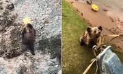 Giải cứu gấu nâu kẹt đầu trong thùng nhựa ở Trung Quốc